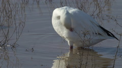 Snow Goose Preens Close Up Stock Footage
