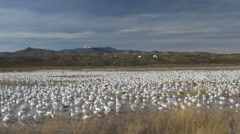 Wide Snow Goose Flock in Marsh With Some Leaving Stock Footage