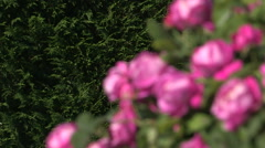 Some beautiful roses Stock Footage