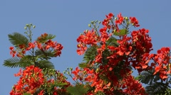 Vivid Delonix regia branch in sun light against blue sky, sway on breeze Stock Footage