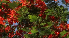 Fern-like leaves of flame tree flutter on wind, bright green and red colors Stock Footage
