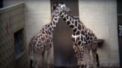 1972: Giraffes hugging and walking around in big new zoo. Stock Footage