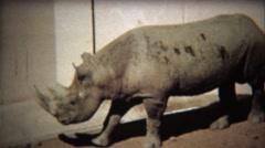 1972: Black Rhinoceros roaming dirt covered zoo habitat floor. Stock Footage