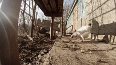 Several Chickens Are Looking For Grazing Land And Among The Concrete Floor in Stock Footage