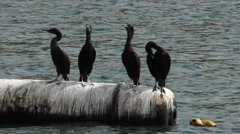 Four black cormorant stand on floating buoy, aquatic birds on rest Stock Footage