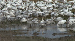 Geese, Snow Geese, Birds, Eat, Drink, Feed - stock footage
