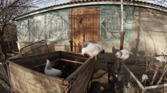 Few White Hens Walk on an Box on The Background of a Village House - stock footage
