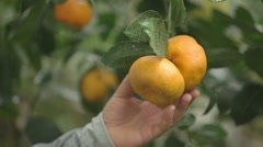 Hand picking Tangerine in a Tangerine Tree - stock footage