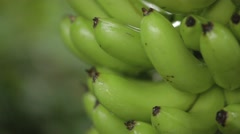 A bunch of bananas growing on tree Stock Footage