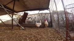 Hen And Rooster Sitting Cooped in a Cage in The Countryside Wilderness in The Stock Footage