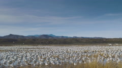 Dozens of Snow Geese Fly Off from Desert Wetland Stock Footage