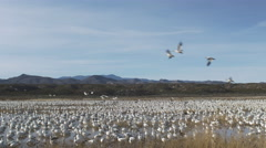 Snow Geese Arrive and Depart Desert Marsh in New Mexico Stock Footage