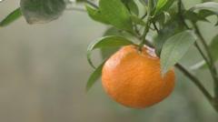 tangerine on The Tree - stock footage
