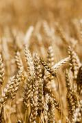 ripe wheat close-ups. - stock photo