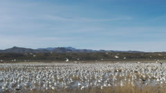 Large Group of Snow Geese Take off At Once Stock Footage