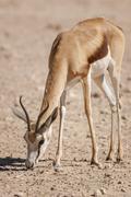Stock Photo of Springbok antelope Antidorcas marsupialis feeding Kgalagadi Transfrontier