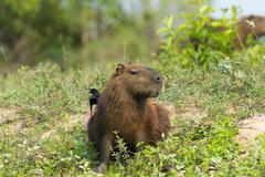 Capybara Hydrochaeris hydrochaeris with a Blackcapped Donacobius Donacobius Stock Photos
