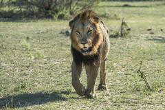 Lion Panthera leo walking frontal male Mala Mala Game Reserve Sabi Sands South - stock photo
