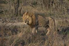Lion Panthera leo Sabi Sands Game Reserve South Africa Africa - stock photo