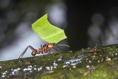 Leafcutter Ant Acromyrmex octospinosus carrying a leaf Pacaya Samiria National Stock Photos