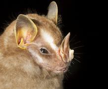 Tentmaking Bat Uroderma bilobatum portrait Pacaya Samiria National Reserve Kuvituskuvat