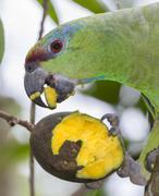 Festive Amazon Amazona festiva feeding on mango Pacaya Samiria National Reserve Stock Photos