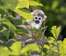 Squirrel Monkey Saimiri sciureus in rainforest canopy Pacaya Samiria National Stock Photos