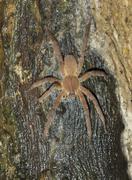 Brazilian Wandering Spider Phoneutria fera on a tree in rainforest Pacaya Stock Photos