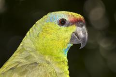 Festive Amazon Amazona festiva portrait Pacaya Samiria National Reserve Stock Photos