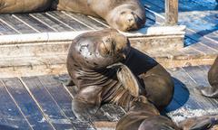 Stock Photo of California Sea Lions Zalophus californianus at Pier 39 Fishermans Warf San