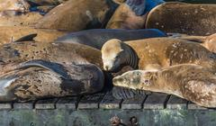 California Sea Lions Zalophus californianus at Pier 39 Fishermans Warf San - stock photo