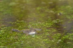 European common frog Rana temporaria amongst aquatic plants in water North - stock photo