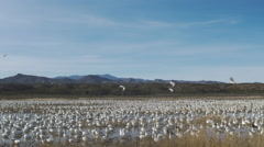 Afternoon Shot of Large Group of Geese in Wetland Stock Footage