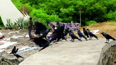 A Crowd of Ravens on White Monument Wall in Mumbai, India (warm look) - stock footage