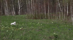 Dalmatian puppy running on a green meadow. - stock footage