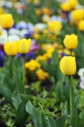 yellow tulips garden nature spring season - stock photo