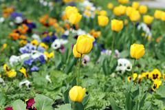 Yellow tulips garden spring season Stock Photos