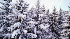 Aerial shot of the snowy spruce trees Stock Footage