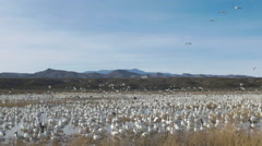 Mass of Snow Geese Lift off Together from Wetland Stock Footage