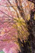 Wild Himalayan Cherry flower (Prunus cerasoides) in thailand Stock Photos