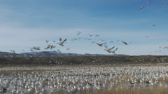 Pan of Afternoon Exodus of Geese in New Mexico Stock Footage