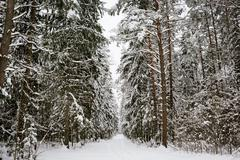 Winter forest background - stock photo