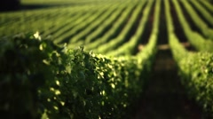 Vineyard in Tuscany. Wonderful view of countryside. Stock Footage