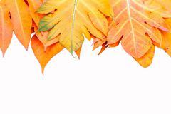 yellow leaves autumn leaf  over isolation background - stock photo