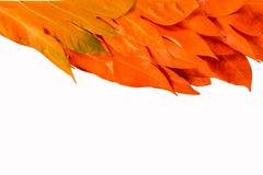 yellow leaves autumn leaf on isolated background - stock photo