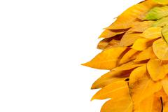 Yellow leaves autumn leaf on isolated background Stock Photos