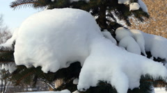 The branch of spruce with snow and hand shakes off the snow Stock Footage