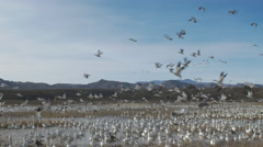 Five thousand snow geese take off from Marsh Stock Footage