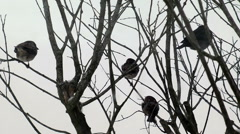 Group of sparrows and finches high winds snow Stock Footage