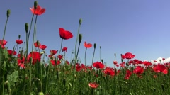 Field poppy, red flower that grows on roadsides frail and especially along Stock Footage